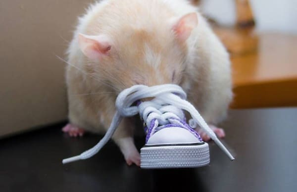 cute rat pictures (31)
