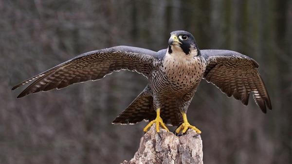 10 Fastest Birds in the World 1