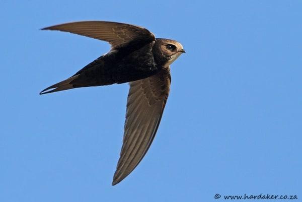 10 Fastest Birds in the World 10