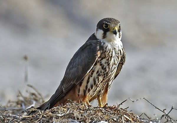 10 Fastest Birds in the World 6