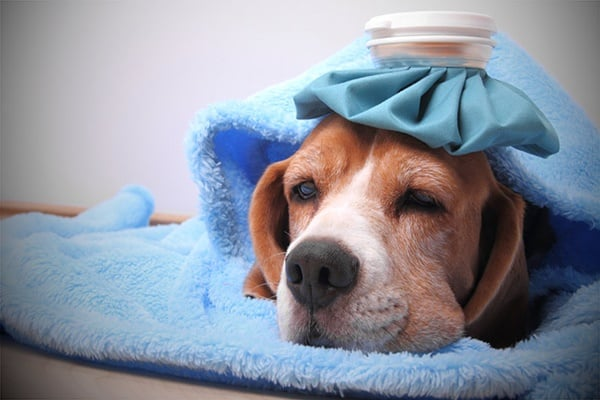 10 Natural Remedies For Kennel Cough Treatment Tail And Fur