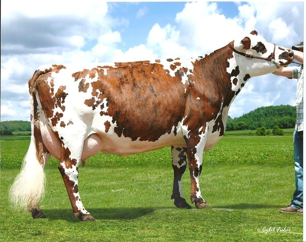 15 Famous Large Cattle Breeds 13