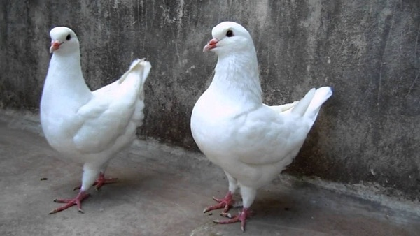15 Most Popular Pigeon Breeds 10