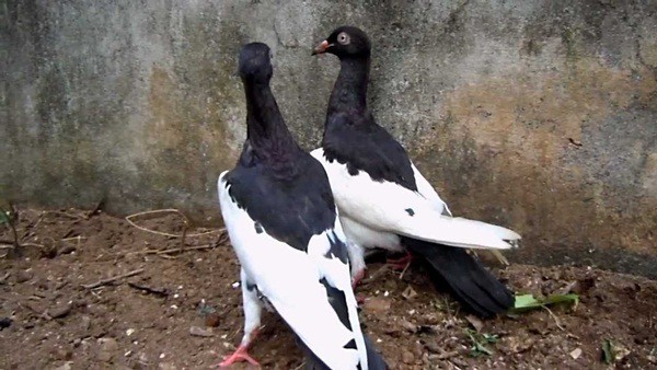 15 Most Popular Pigeon Breeds 11