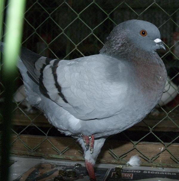 15 Most Popular Pigeon Breeds 13