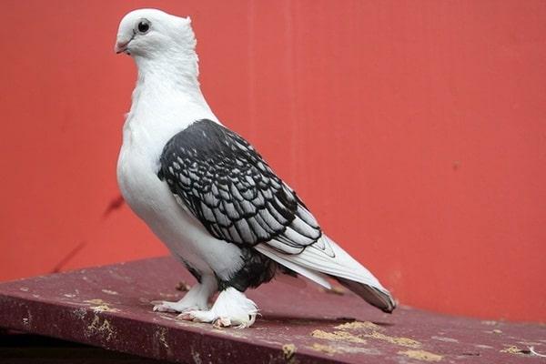 15 Most Popular Pigeon Breeds 14