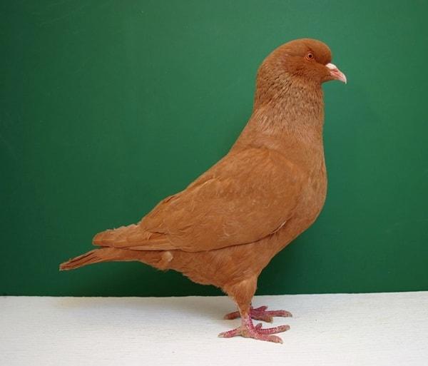 15 Most Popular Pigeon Breeds 3