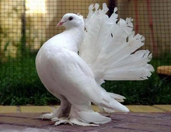 15 Most Popular Pigeon Breeds 7