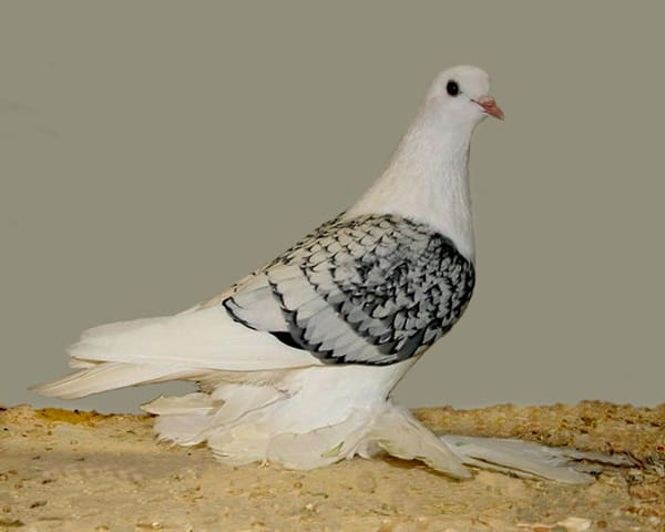 15 Most Popular Pigeon Breeds 9