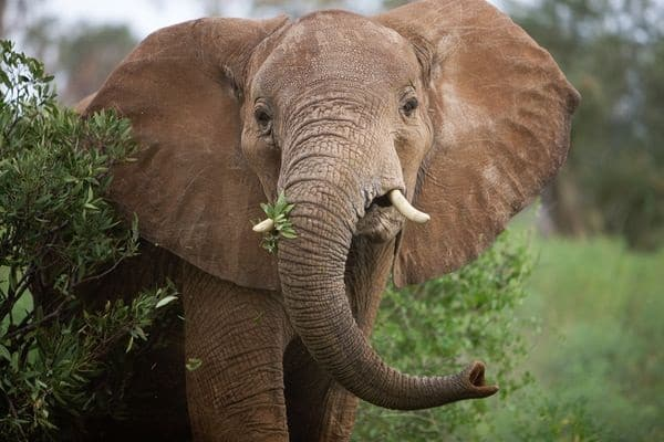 20 Interesting African Elephant Facts for Kids 2