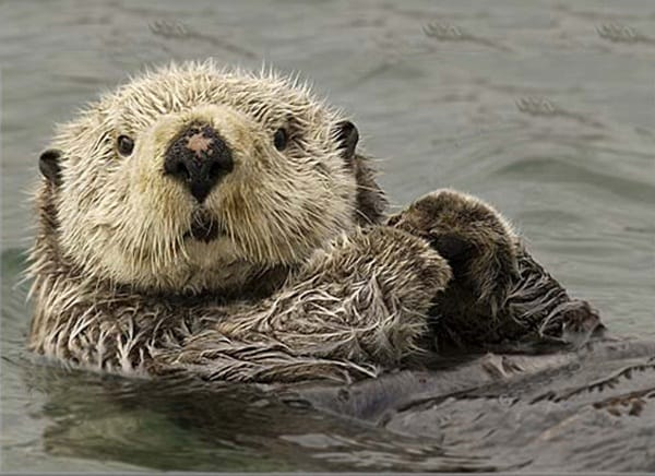 40 Cute Otter Pictures 1