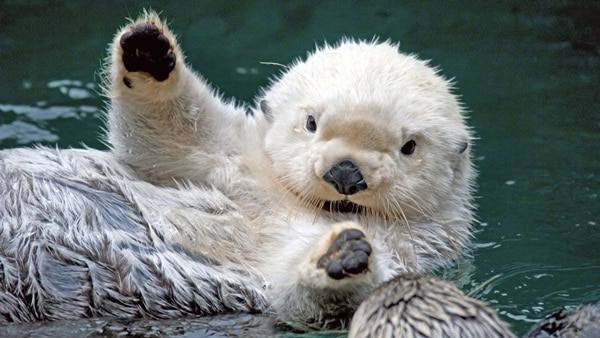 40 Cute Otter Pictures 12