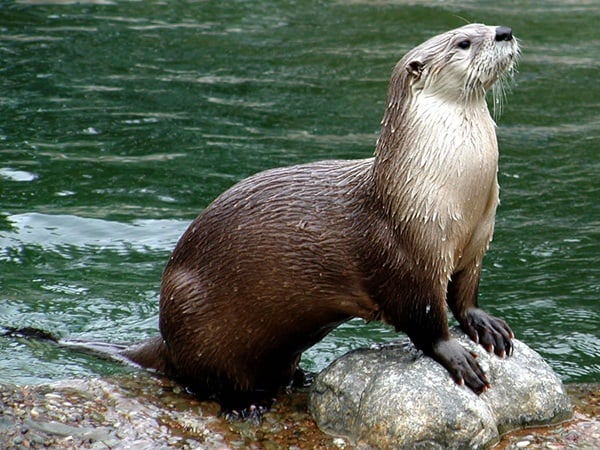 40 Cute Otter Pictures 13