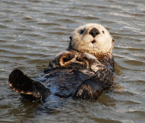 40 Cute Otter Pictures 14