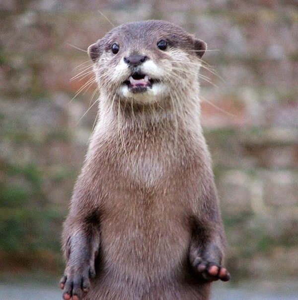 40 Cute Otter Pictures 16