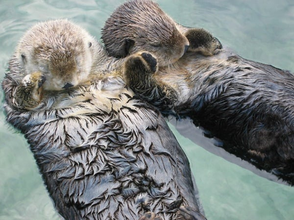 40 Cute Otter Pictures 17