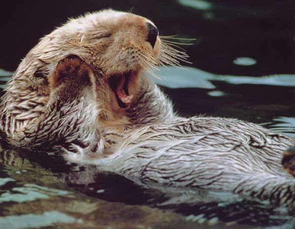 40 Cute Otter Pictures 24