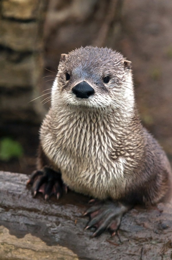 40 Cute Otter Pictures 25