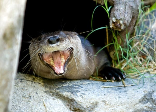 40 Cute Otter Pictures 33