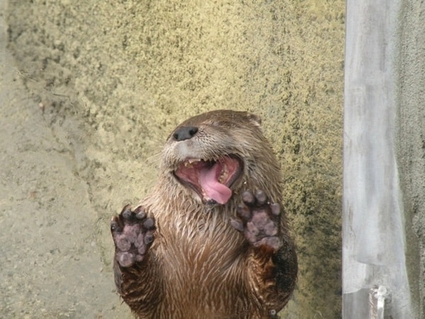 40 Cute Otter Pictures 38