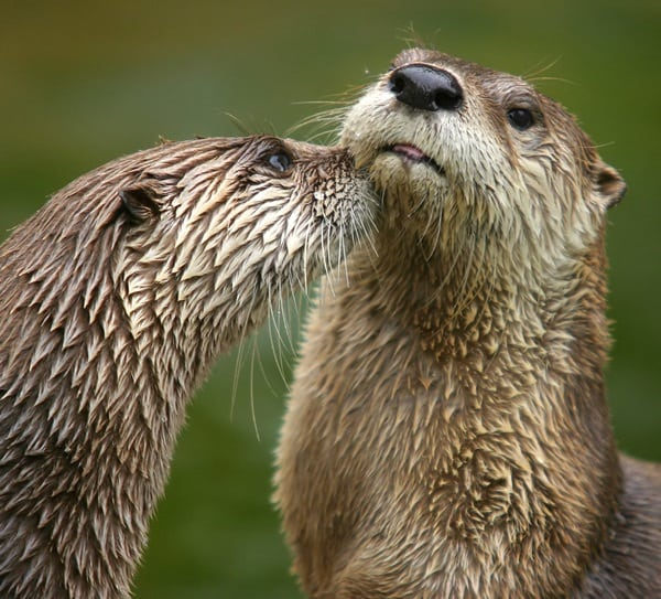40 Cute Otter Pictures 6
