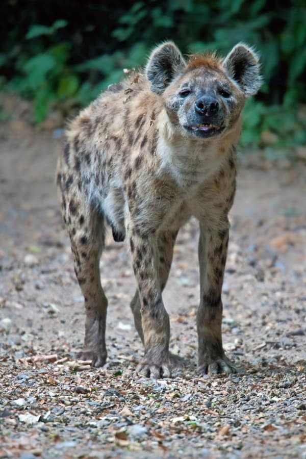 Amazing Live action pictures of hyenas (1)
