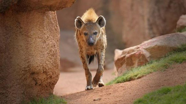 Amazing Live action pictures of hyenas (10)