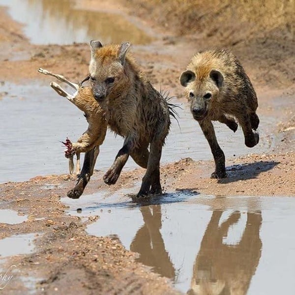 Amazing Live action pictures of hyenas (12)