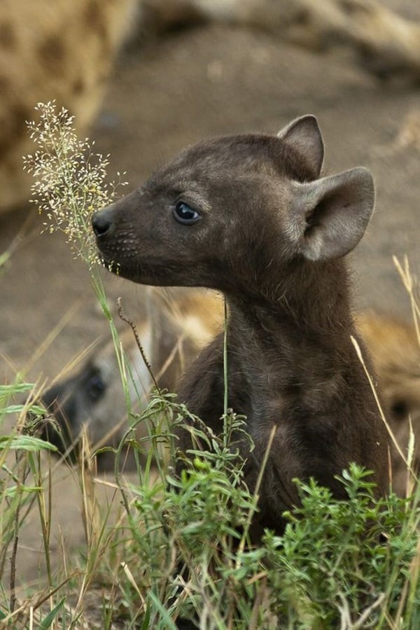Amazing Live action pictures of hyenas (16)