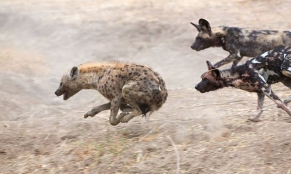 Amazing Live action pictures of hyenas (17)