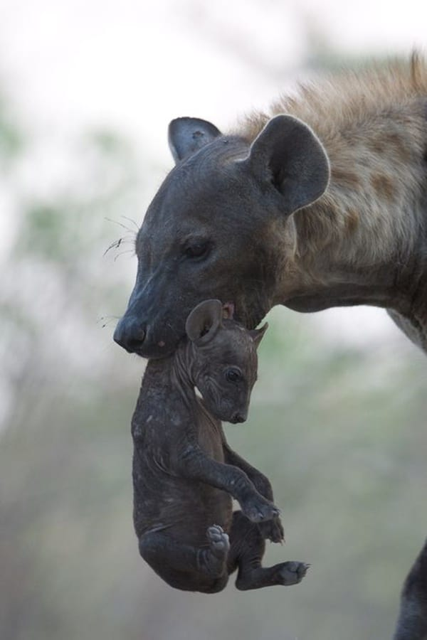 Amazing Live action pictures of hyenas (18)