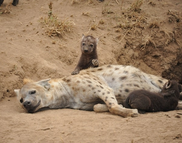 Amazing Live action pictures of hyenas (19)