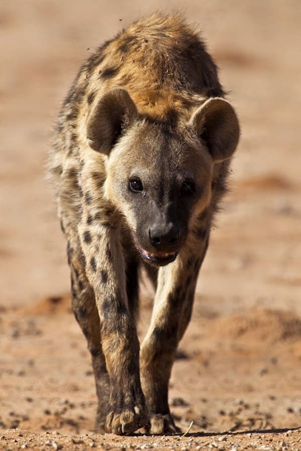 Amazing Live action pictures of hyenas (2)