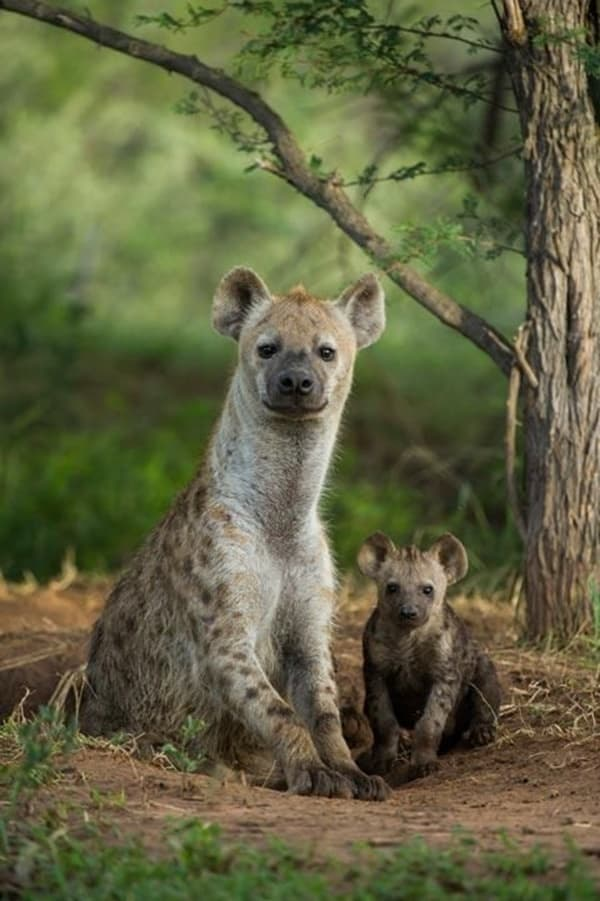 Amazing Live action pictures of hyenas (20)