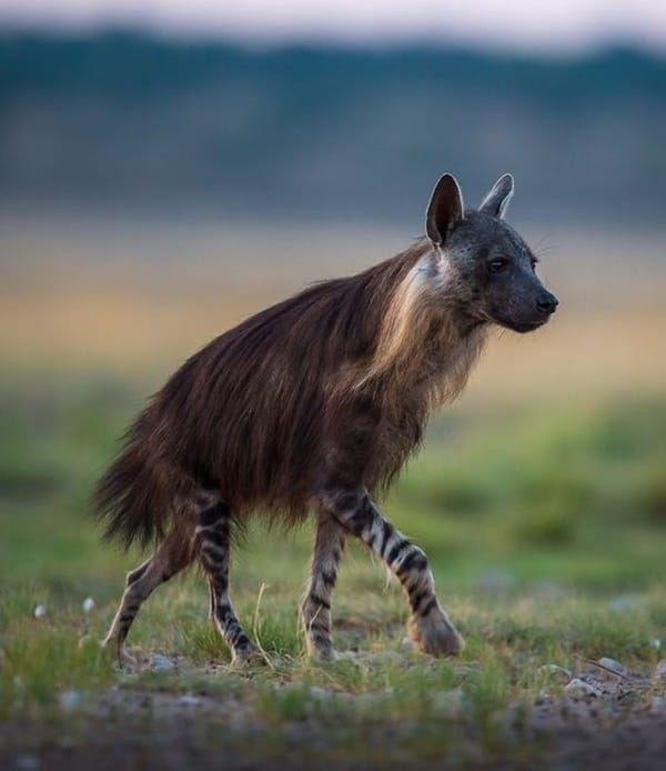 Amazing Live action pictures of hyenas (21)