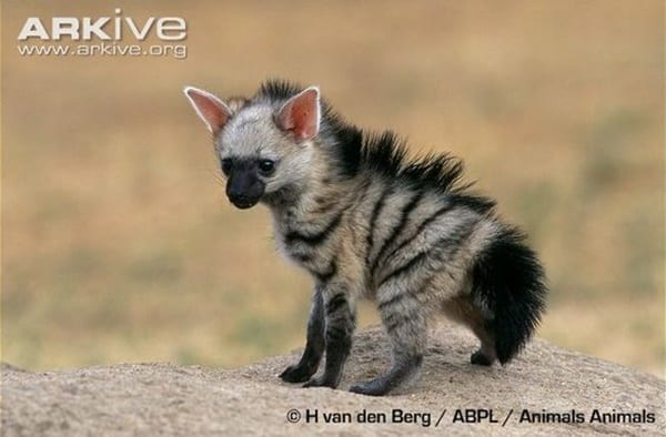 Amazing Live action pictures of hyenas (23)