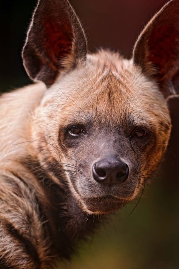 Amazing Live action pictures of hyenas (24)