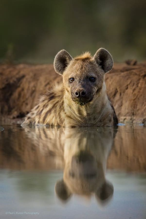 Amazing Live action pictures of hyenas (25)