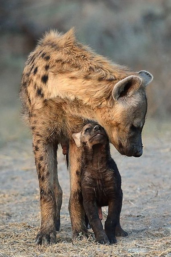 Amazing Live action pictures of hyenas (26)