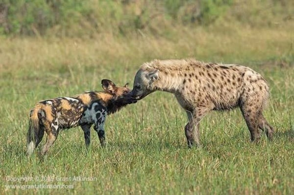 Amazing Live action pictures of hyenas (27)