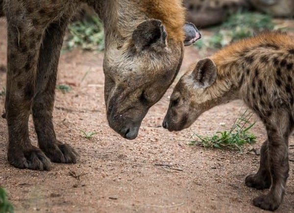 Amazing Live action pictures of hyenas (28)