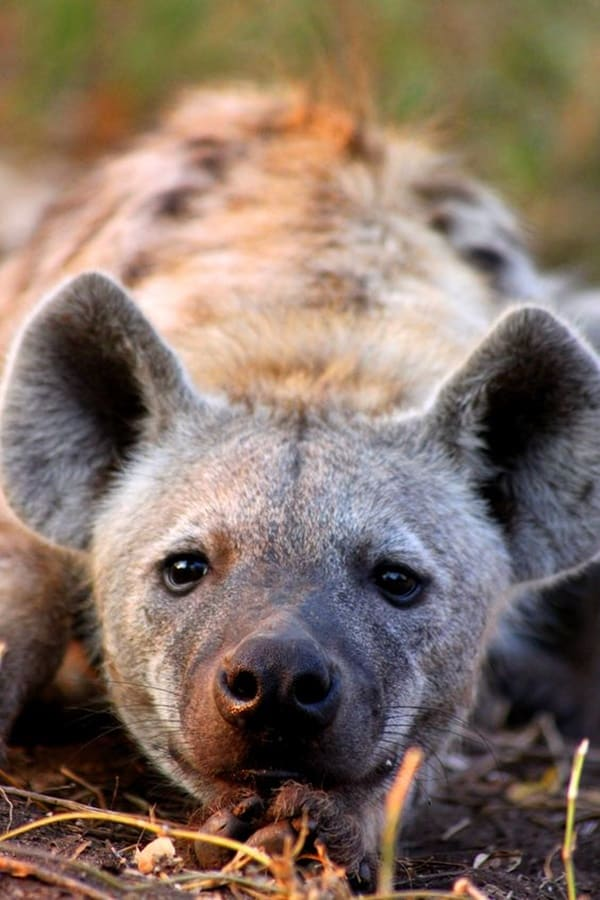 Amazing Live action pictures of hyenas (29)