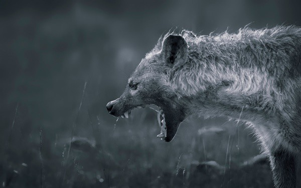 Amazing Live action pictures of hyenas (30)