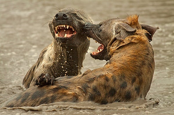 Amazing Live action pictures of hyenas (31)