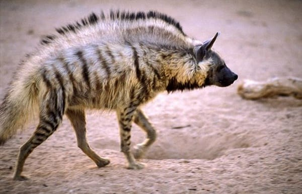 Amazing Live action pictures of hyenas (4)