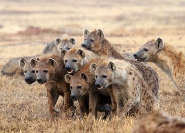Amazing Live action pictures of hyenas (6)