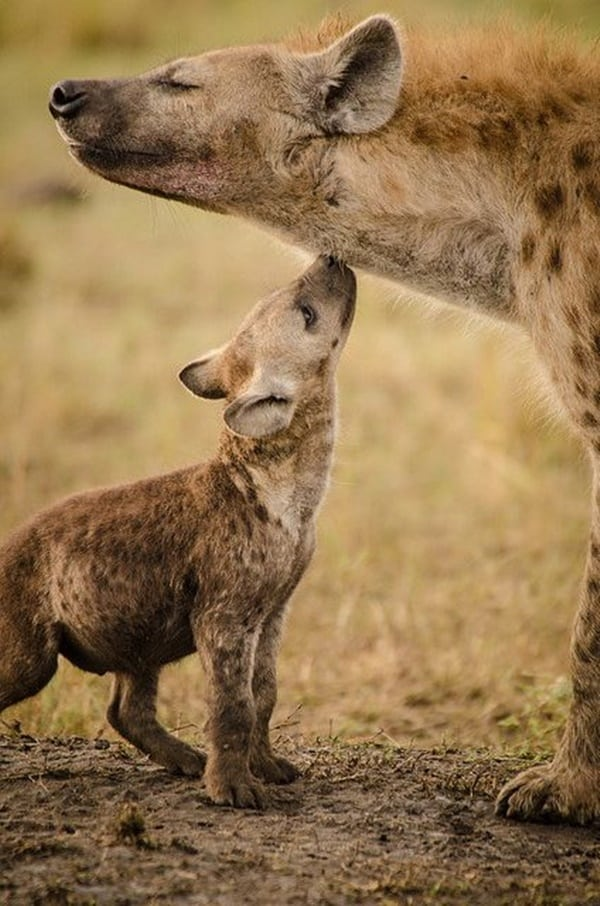 Amazing Live action pictures of hyenas (7)