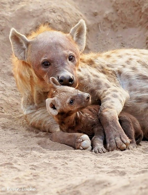 Amazing live action pictures of hyenas