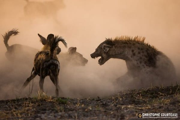 Amazing Live action pictures of hyenas (9)