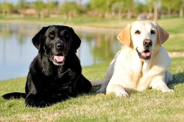 Best Things about Owing a Labrador Retriever 1